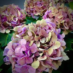 Types Of Hydrangeas, Hydrangea Macrophylla, Hollyhock, Country Living, Hibiscus, Heavenly, Winter, Summer, Palette