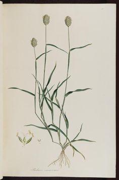 Phalaris canariensis L. canary grass