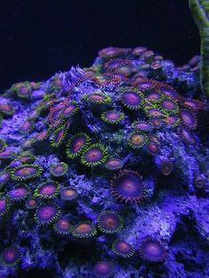 Ocean blue, deep under the Ocean - Zoanthus Corals.
