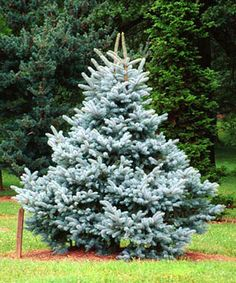 Colorado Blue Spruce Tree ; putting one in my backyard. - Deer Resistant MSU rating: rarely severely damaged: A