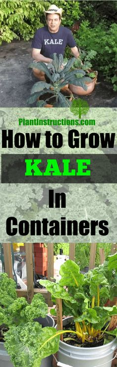 Experts teach you how to grow big, beautiful kale in pots and containers!