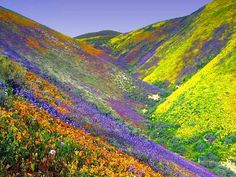 Death Valley.  Normally dry desert, but after torrential rains the desert starts blooming. this is just so pretty