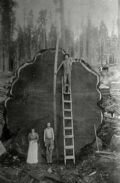 © BECKWITH, N.E. / National Geographic California. Loggers and the giant Mark Twain redwood cut down in 1892. Part of Christie's Boundless: 125 Years of National Geographic Photography