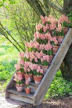 Potted pink hyacinths