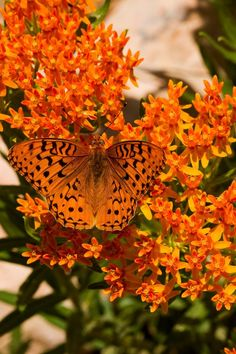Asclepias tuberosa (butterfly weed)--Plant in sandy, well drained soil, in full sun. Great near rocks/gravel. Keep away from irrigation systems if possible.