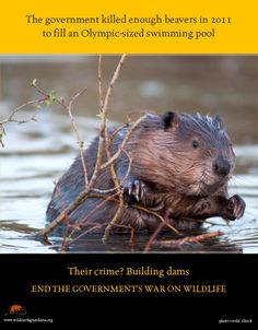 Beavers Beaver Shot Beaver Dam Beavers Canada Tourism Canadian Animals Conservation