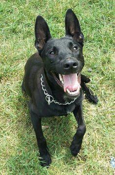 Looks like my rescue, Ava! Belgian Shepherd, German Shepherd Dogs, German Shepherds, Dog Photos, Dog Pictures, Beautiful Dogs, Animals Beautiful, Black Belgian Malinois, Belgium Malinois