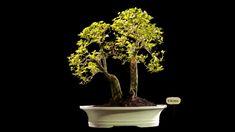 Bonsai Duranta Erecta AHL.34.2322 - kebunbibit Bonsai, Duranta, Yellow Fruit, Evergreen Shrubs, Blue Flowers, Lilac, Tropical, Orange, Plants
