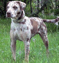 Rare Breeds: Catahoula Leopard Dog Hog Dog, Dog Cat, Catahoula Cur, American Dog, Native American, Leopard Dog, Brown Leopard, Hunting Dogs, Working Dogs