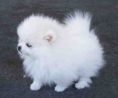 Google Image Result for http://data.whicdn.com/images/13890070/Teacup-Pomeranian-Puppies-For-Sale-1-300x200_thumb.jpg