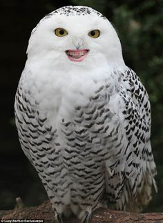 This owl. 14 Animals With Braces That Will Make You Smile Braces Humor, Dental Humor, Dental Hygiene, Baby Animals, Funny Animals, Cute Animals, Animal Funnies, Your Smile, Make You Smile