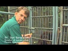 Meet the Twins :-  Sumatran Orangutan's born to parents who are both blind