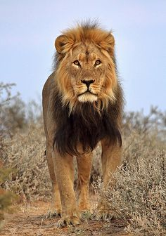Close Encounter with a beautyful male lion near Nossob. Female Lion Tattoo, Baby Animals, Cute Animals, Lion Love, Lion Art, Disney Lion King, African Animals, Beautiful Cats, Big Cats