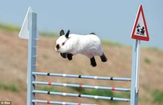 Overcome the obstacle -- anybunny can do it!