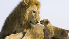 Lion cub meets his dad for the first time. Looks both like a tense and an aww moment for me. (Courtesy: Suzi Eszterhas)