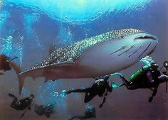 Scuba Diving with Whale Sharks in Thailand