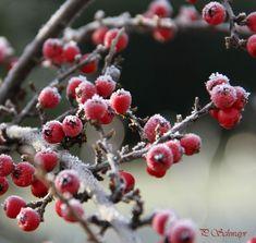 Beeren im Eismantel ❤️❤️❤️. kreativesbypetra Petra, Photos, Berries, Ice, Pictures