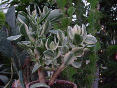 Crassula ovata variegata   Also known as:   Variegated Dollar Plant   Variegated Jade Plant   Variegated Money Tree
