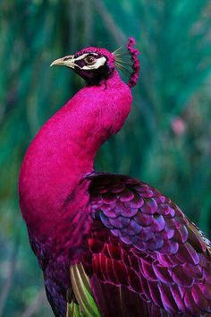 rare pink peacock - love the jewel tones with the fuschia and purple and green (even if this is photo shopped I liked it)