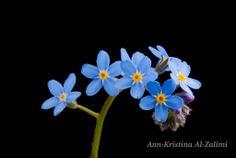 by Ann-Kristina Al-Zalimi, lemmikki, blue flower, lower, forget me not, Myosotis, förgätmigej, blue, flora