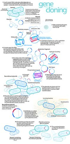 Why are Bacteria Used in Recombinant DNA Technology? Bacterial cells are easy to grow, maintain, and manipulate in a laboratory. The growth requirements. Cell Biology, Ap Biology, Teaching Biology, Science Lessons, Life Science, Recombinant Dna, Dna Technology, Molecular Genetics, Biochemistry