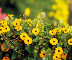 """Black-eyed Susan"" vine is a top pick for adding easy-growing bright color to the summer garden. The trumpet-shape blooms appear in cheery shades of yellow, orange, and white; many selections have dark purple throats. It's a polite vine you can count on to stay in bounds and not become overgrown. Zones 10-11"