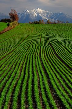 Green. Wheat. Biei. Hokkaido. 美瑛!ここは絵になる風景が多いよね。