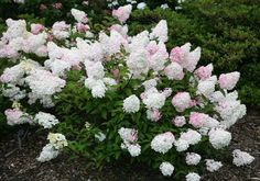 Hydrangea paniculata Vanille Fraise ('Renhy'). Pinky white flowers, fast growing, will take damp and shade. Could grow up to 2m across and high - I want to try this in the spot of death next to the patio by the main bed! Fingers crossed... £14.99