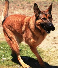 Military Working Dog Lucca, gave up his  leg for our country