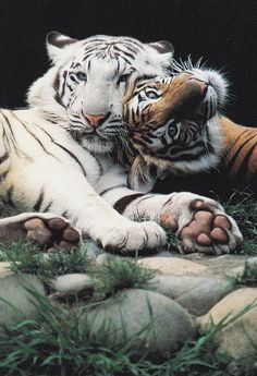 Sweet Tiger Love