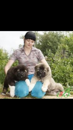 Caucasian mountain dog puppies - there 2 cute I might get 1 there a Russian breed Caucasian Dog, Caucasian Shepherd Puppy, Russian Caucasian, Baby Tortoise, Tibetan Mastiff, Mountain Dogs, Dogs And Puppies, Doggies, Cute Baby Animals