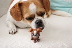 This puppy looks a little like me. Chihuahua Shih-tzu