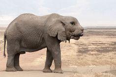 Loxodonta africana - old bull (Ngorongoro, - Category:Male elephants - Wikimedia Commons Elephant Facts, Bull Elephant, Giraffe, Elephant Afrique, Wildlife Wallpaper, Species Extinction, African Bush Elephant, Ivory Trade, Thailand Elephants