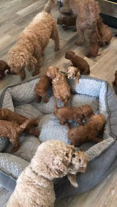 Visit One Bark Plaza to browse the most trusted source of Goldendoodle puppies ✅ for sale. Our adorable puppies are ready to find a new home. Super Cute Puppies, Cute Baby Dogs, Cute Little Puppies, Cute Funny Dogs, Cute Dogs And Puppies, Cute Funny Animals, Cute Baby Animals, Fluffy Puppies, Baby Puppies