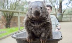 This is an amazing story of the great Patrick, the Wombat; the oldest wombat ever. the wombat lived more than the average of the life span of his specie which is about 20 years average Funny Animal Images, Animals Images, Animals And Pets, Animal Pictures, Baby Animals, Funny Animals, Cute Animals, Cute Creatures, Beautiful Creatures