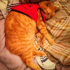 ハァ…とてもかわいい☺️(親バカ) hmm... So cute☺️(Doting owner) 嗯......太可愛了☺️(過度疼愛) #Cat #Neko #Chatora #SleepingCat #CatWear #CuteCat #CutePet #Cute #Pet #DotingOwner #DotingParent