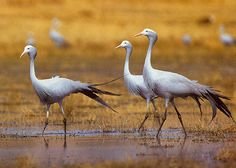 The Blue Crane (Anthropoides paradiseus), also known as the Stanley Crane and the Paradise Crane, is the national bird of South Africa.