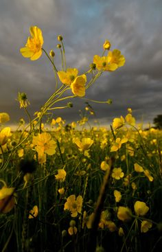 Buttercup Field by Chloe Hutchings on 500px