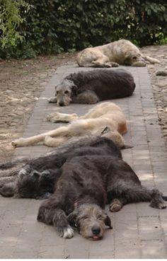 I love irish wolfhounds