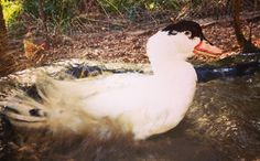 Despite Never Knowing Water, This Rescue Duck Wakes Up Every Day and Takes a Dunk