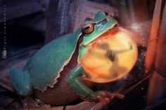 You can see the silhouette of Tinkerbell trapped in a frogs throat, and her wand sticking out of his mouth.  Photography by Blepharopsis