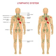 Diagram of the lymph nodes lymph nodes in body diagram human it might be due to your poor lymphatic system ccuart Image collections