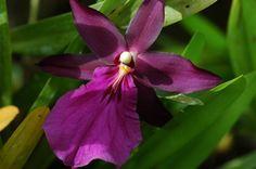 Intergeneric Orchid miltonidium bartley schwartz highlands | Miltonia Purple Queen and Miltonidum Bartley Schwarz