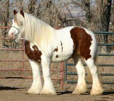 Výsledek obrázku pro shirský kůň