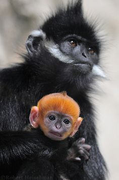 earth-song:    How Curiousby~robbobert  This baby Francois' langur was quite a handful. Wanted nothing more than to wiggle free and come take a look at all the humans, but he never could quite get loose.