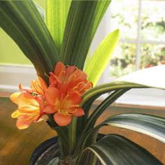 A very rare Dwarf Clivia with yellow- or cream-striped foliage and orange blooms. My Secret Garden, Garden Plants, Seeds, Orange, Yellow, Bloom, Flowers, Dwarf, Mall