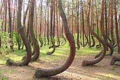Den krokete skogen, Polen. Bilde av KILLTHEMWITHKINDNESS