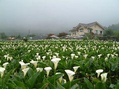 Calla Lily - Bamboo Lake