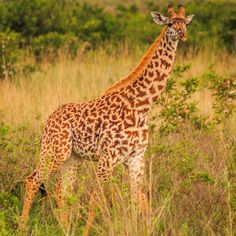 How cute and adorable is this baby giraffe ? #whyilovekenya