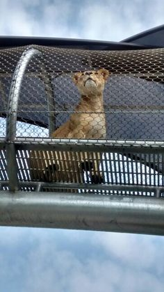 Lion Princess Masinga 5/7/15